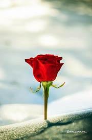 beautiful-rose-flower-photos-mobile