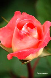 beautiful-rose-flowers-images-mobile