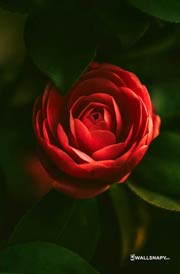 hd-red-rose-wallpaper-download
