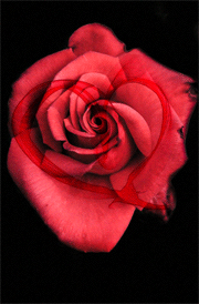 heart-rose-hd-images