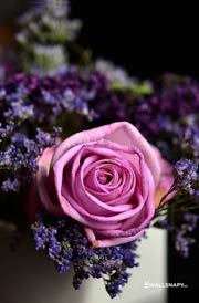 purple-rose-photos-download