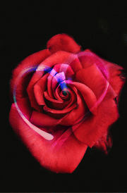 rose-with-heart-hd-wallpaper-for-mobile