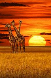 sunrise-with-giraffe-hd-wallpaper