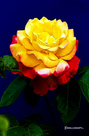 yellow-rose-wallpapers-download